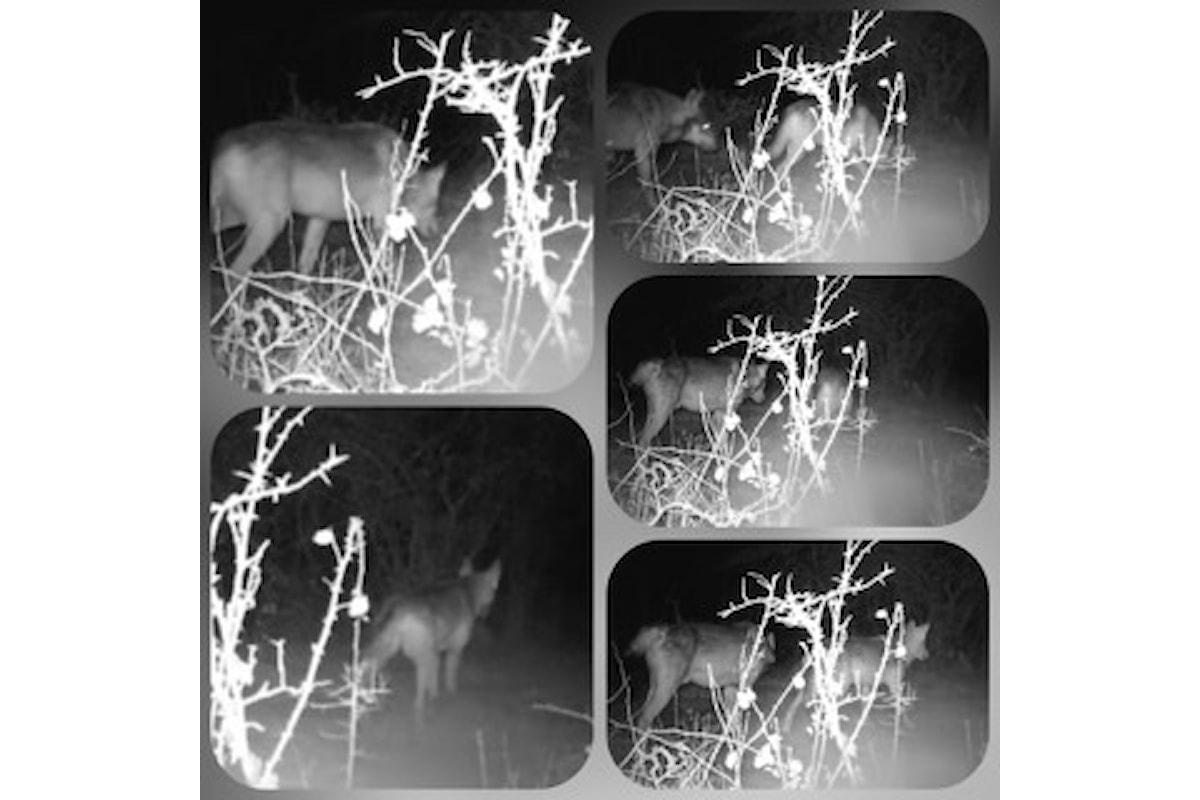 Cepagatti (Pe): ancora avvistamenti di lupi nella notte