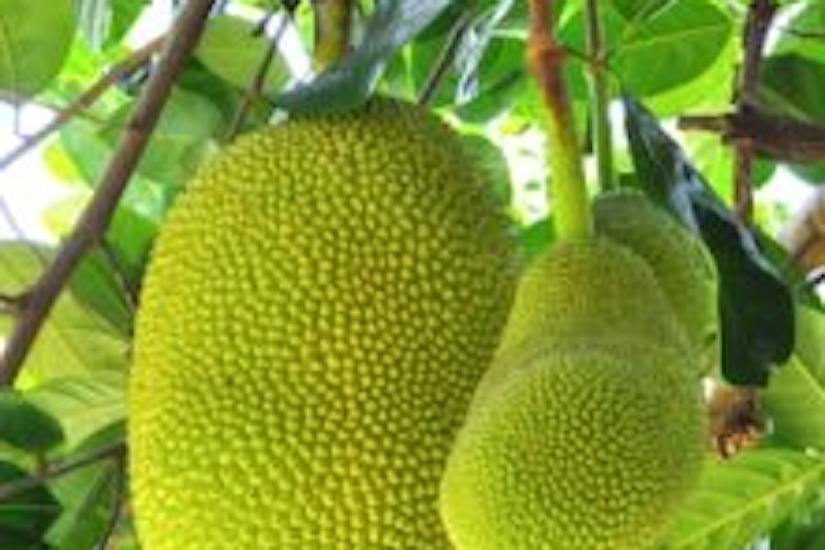 Jackfruit proprietà e benefici