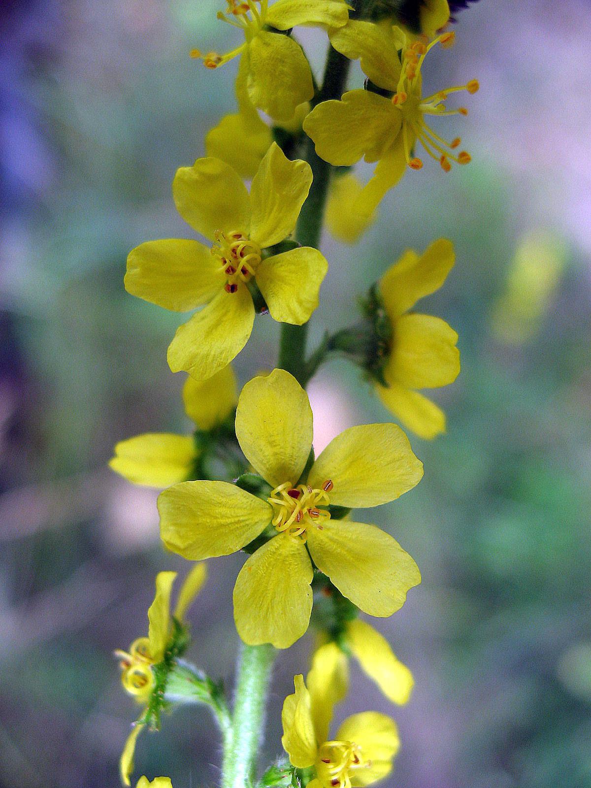 Agrimony, il fiore addormentato di Edward Bach