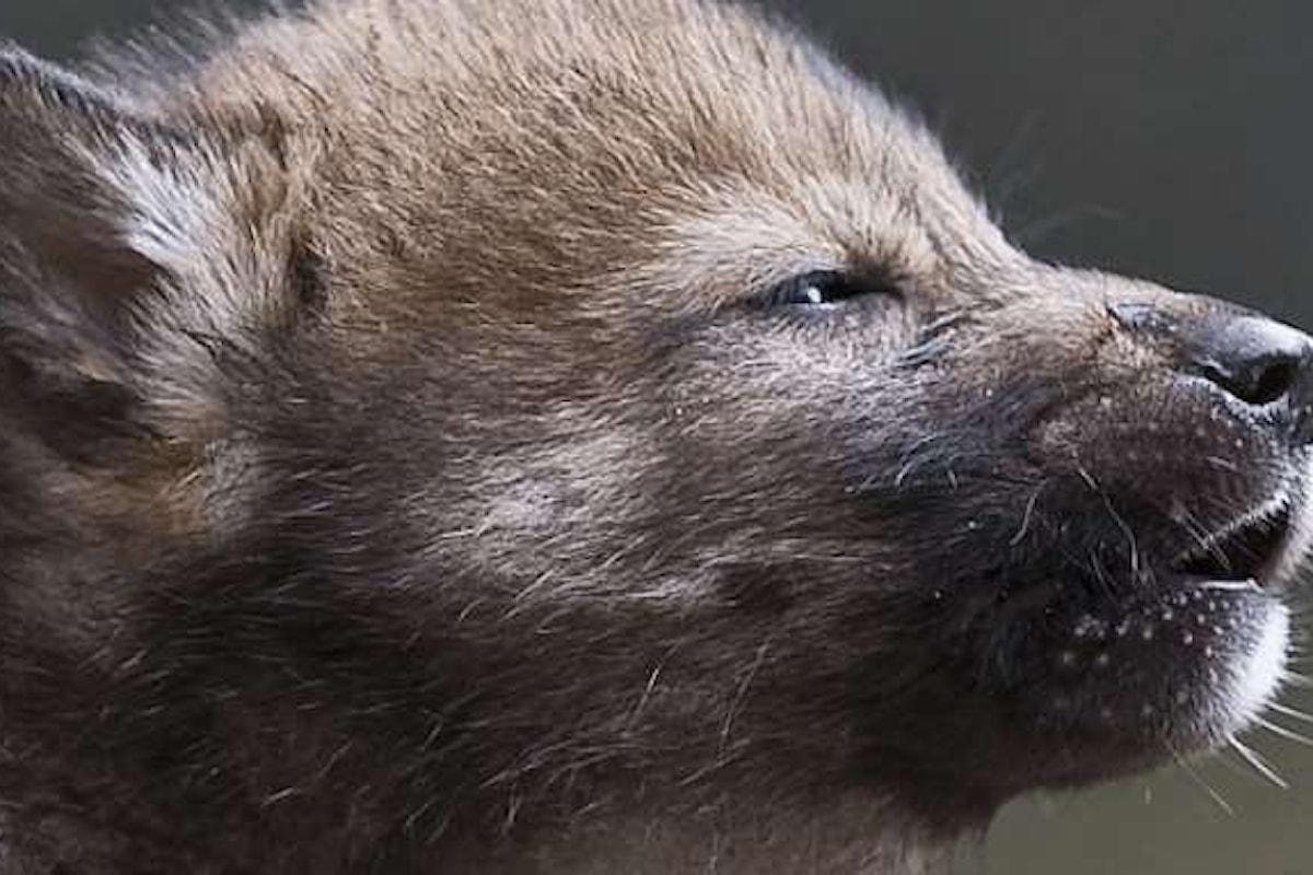 Il lupo italiano è unico e pertanto va protetto