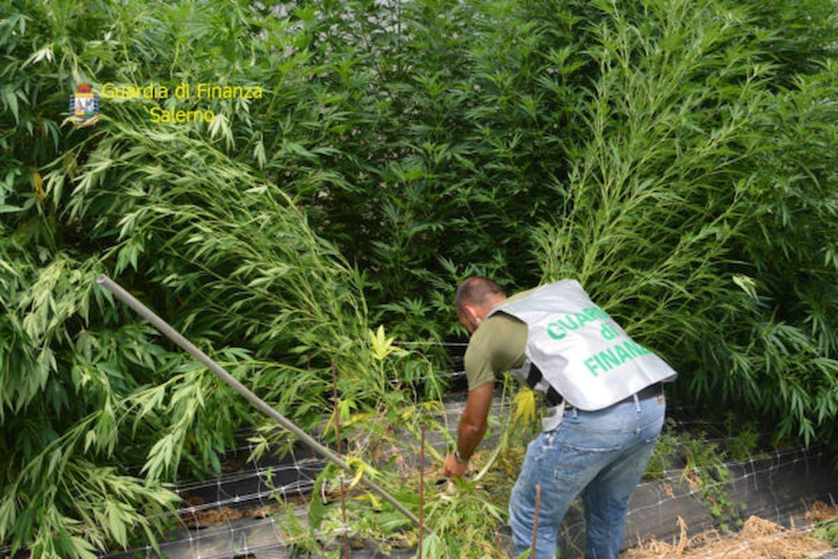 Coltivava marijuana, arrestato dalla Finanza nel salernitano