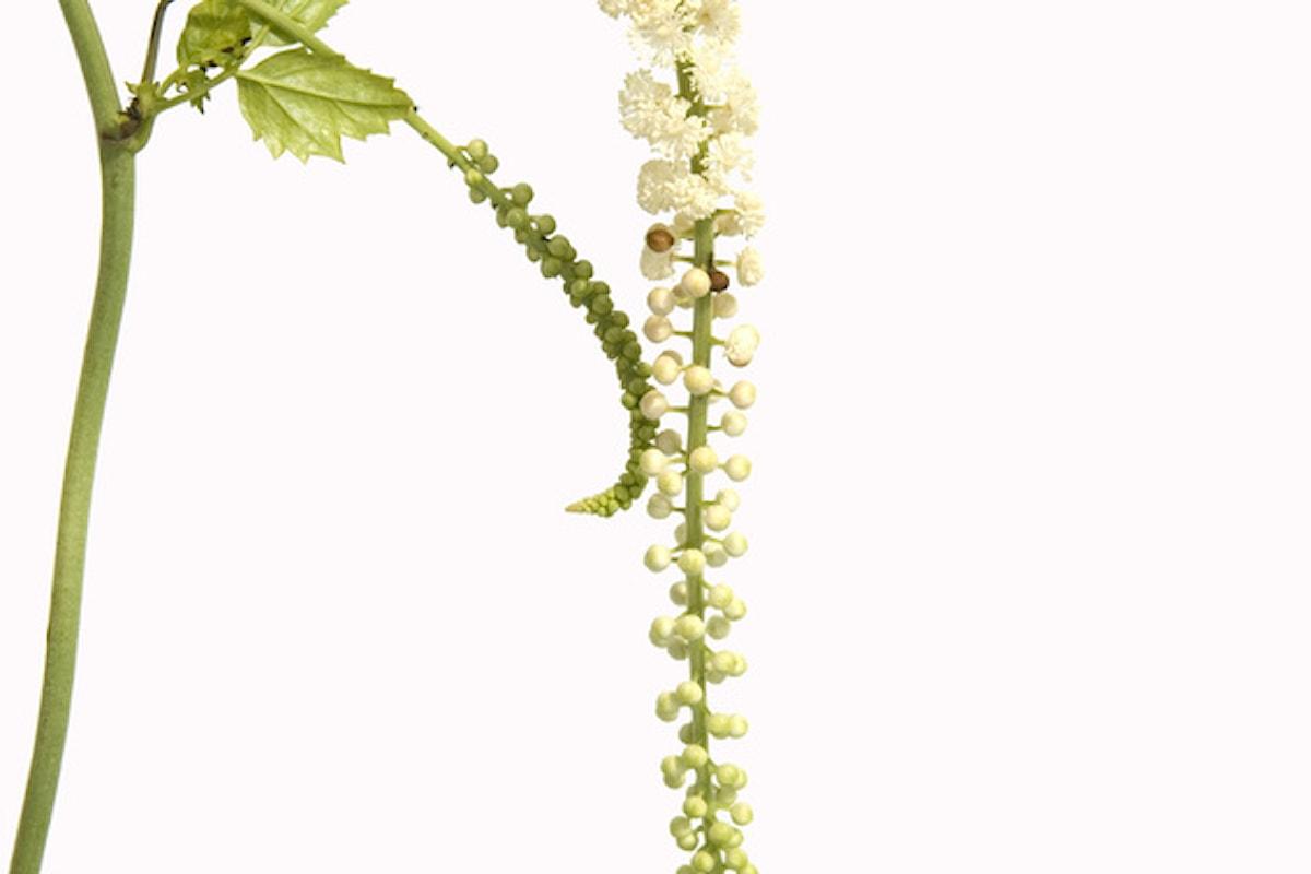 Cimicifuga: la pianta che allontana le vampate