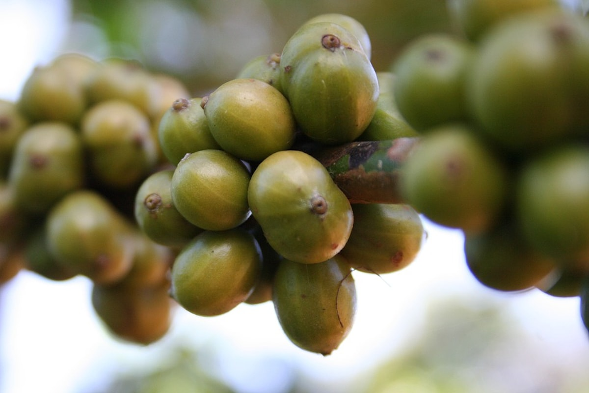 Caffè verde, motore del metabolismo